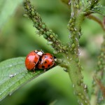 Ladybugs and aphides